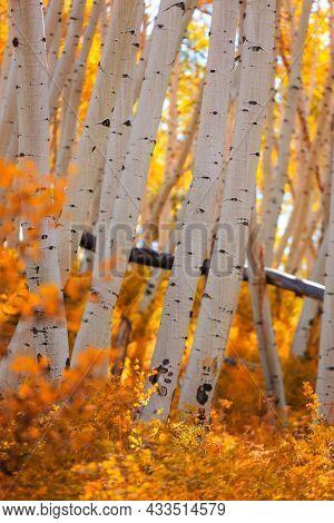 Colorful Aspen trees in rural Colorado