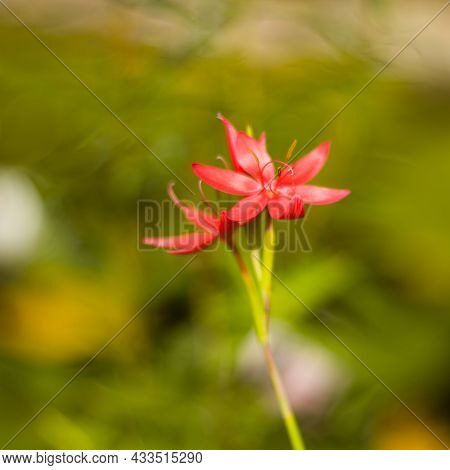 A Soft Photo With Much Bokeh Of A Hesperantha Coccinea Major' - Crimson Flag. The Photo Is Take With