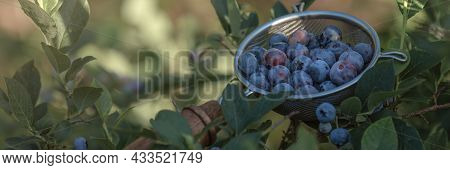 Freshly Picked Blue Heath Berries From Home Garden In Metal Colander With Wooden Hand