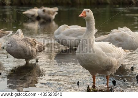Flock of white domestic geese on the lake. Big white goose in water. Domestic geese close-up
