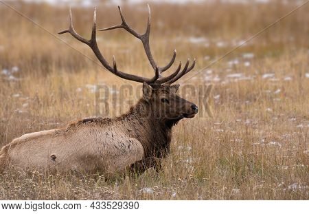 A Bull Elk Lays In The Autumn Grass Gathering His Energy For The Upcoming Rut.