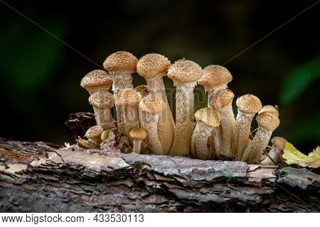 Shot Of Edible Armillaria Ostoyae Mushroom Commonly Known As Honey Mushroom. Czech Republic, Europe.