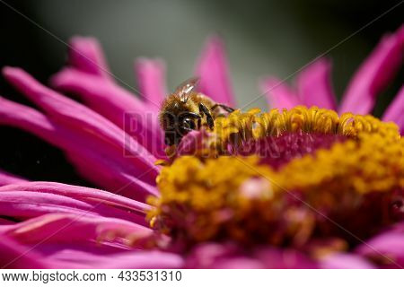 Close-up Bee On Pink Flower Collects Nectar.