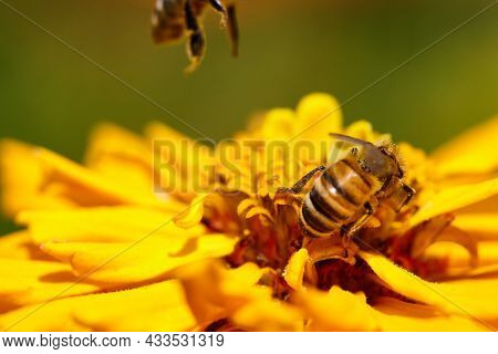 Close-up Bee On Yellow Flower Collects Nectar.
