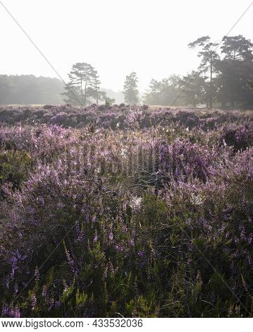 Pine Trees In Morning Fog And Colorful Purple Heather On Heath Near Zeist In The Netherlands