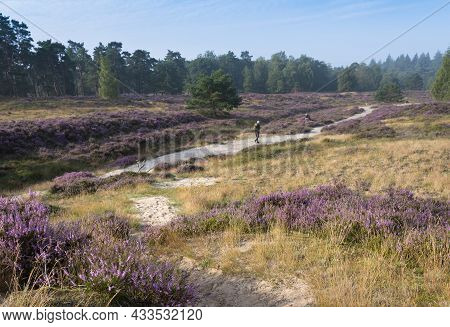 Photographers Near Pine Trees Under Blue Summer Sky And Colorful Purple Heather On Heath Near Zeist