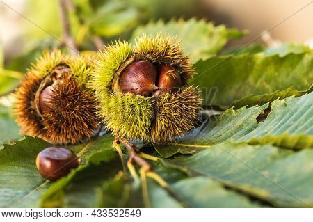 Ripe Chestnuts Close Up. Sweet Raw Chestnuts. Chestnuts With Skin. Organic Food. Food Background. He
