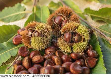 Ripe Chestnuts Close Up. Sweet Raw Chestnuts. Husked Chestnuts And Chestnuts With Skin. Organic Food