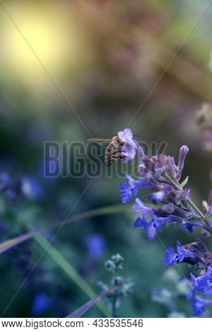 Purple Flowers And Bee Collecting Nectar And Pollinating The Lilac Bush.