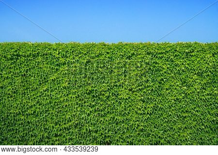 Natural Green leaves wall background. Element of design.