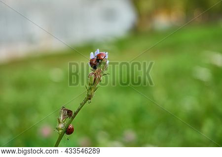 Ladybugs Are Red Black Sitting On The Tip Of A Blade Of Grass. Beautiful Insects In Nature Close-up.