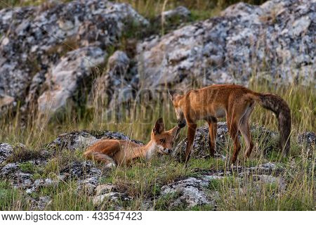 Two Red Fox Young Pup Is Sitting On A Stone. Vulpes Vulpes In The Wild.