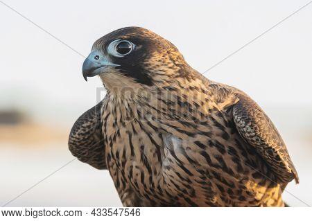 Birds Predator - Peregrine Falcon Falco Peregrinus. Portrait Close Up.