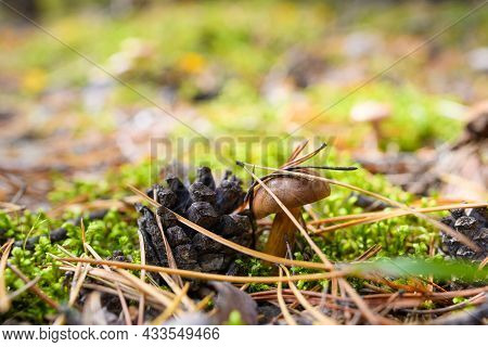 A Small Mushroom In A Pine Forest Next To A Pine Cone Grows In Moss. Pine Dry Needles On A Mushroom