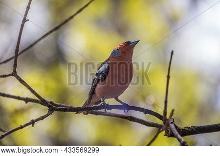 Common Chaffinch, Fringilla Coelebs, Sits On A Branch In Spring On Green Background. Common Chaffinc