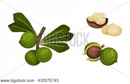 Macadamia Nuts With Green Leaves Set. Unpeeled And Peeled Kernels, Organic Natural Healthy Product V