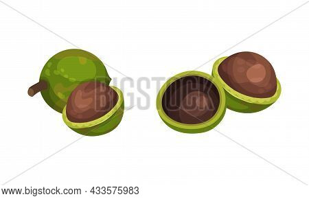 Macadamia With Green Husk And Leaves Set. Unpeeled Kernels, Organic Natural Healthy Product Vector I
