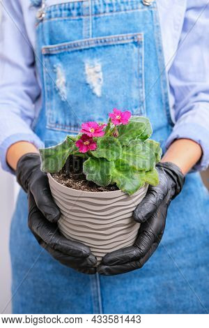 Woman Gardener Hands Transplantion Violet In A Pot. Concept Of Home Gardening And Planting Flowers I