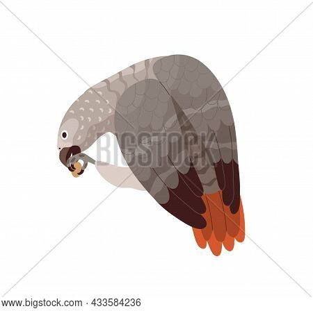 Congo Grey Parrot Eating. African Bird With Red Tail And Gray Feathers. Tropical Birdie From Africa.