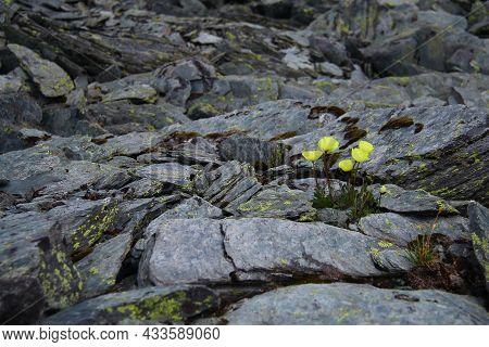 Wild Yellow Flowers Grow On Gray Flat Stones In A Stone Valley On A Mountainside, Altai, Karatyurek