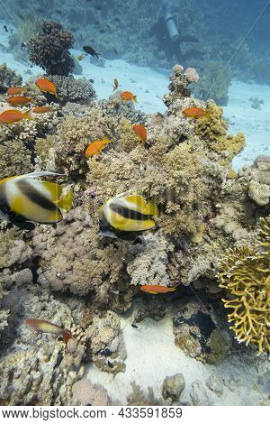 Colorful Coral Reef At The Bottom Of Tropical Sea, Hard Corals And Bannerfishes, Underwater Landscap