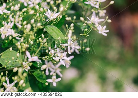 Large Group Of White Clematis Flowers In The Garden, Selective Focus And Blurred Background