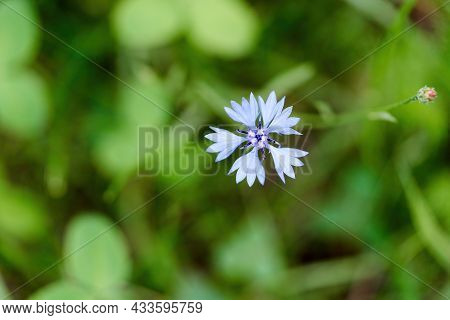 Blue Cornflower Flower On A Background Of Grass On A Summer Sunny Day