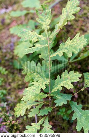 Green Oak Leaves, A Young Tree Begins To Grow In The Forest