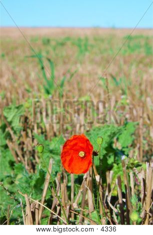 Harvest Poppy Field