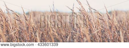 Field Of Dry Brown Grass On Light Natural Background. Banner.