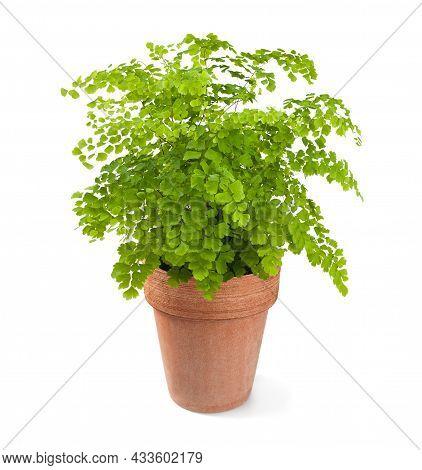 Black Maidenhair Plant In Vase Isolated On White Background