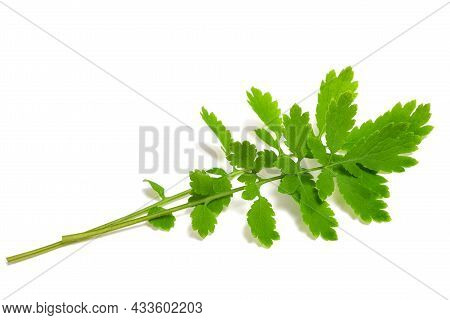 Greater Celandine Branch Isolated On White Background