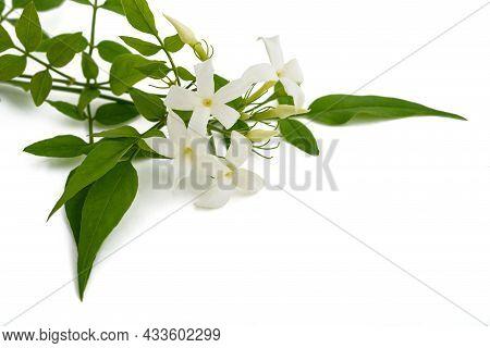 Jasmine Plant With Flowers Isolated On White Background
