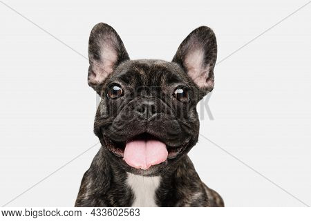 Close-up Of Beautiful Dog, Puppy Of French Bulldog Posing Isolated Over White Background. Concept Of