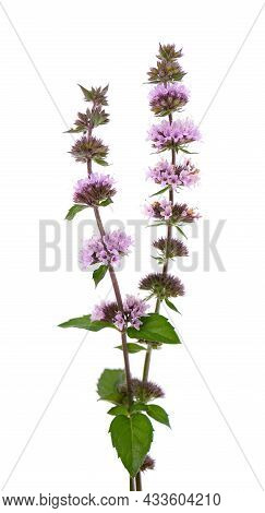 Peppermint Flowers Isolated On White Background. Mint Branch. Herbal Medicine.