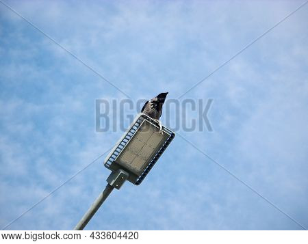 Crow Sits On A Street Lamp And Holds A Fish.
