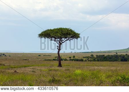 Evergreen acacia on the horizon. African savannah in the spring at sunset. Ecological, exotic and photo tourism concept