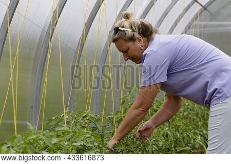 Farmer Woman Inspects Leaves Of Tomatoes In A Greenhouse. Checking Tomato Seedlings In The Greenhous