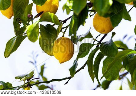 Lemon Trees With Ripe Yellow Lemons In Citrus Orchard. Beautiful Nature Background. Fruits Growing I