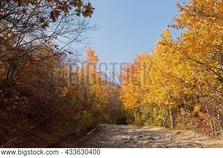 Autumn Aspen Forest. A Rural Road Made Of Stones In A Mountainous Area. A Sunny Orange-yellow Landsc
