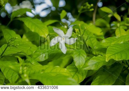 Selective Focus On Beautiful Crepe Jasmine Plant With Two White Flowers And Green Leaves Isolated Wi