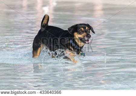 Black And Tan Mixed Breed Dog Playing In The Swimming Pool