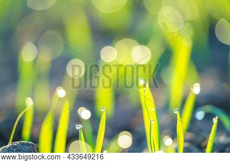 Field with sprouts of oats in the early morning