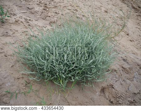 Sandy Grass On The Sand Against The Blue Sky. Grass In The Sand Dunes. Sunny Beach With Sand Dunes A