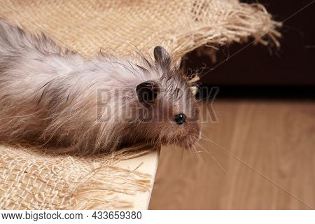 A Long-haired Large Syrian Burlap Looks Down From A Table Covered In Burlap.
