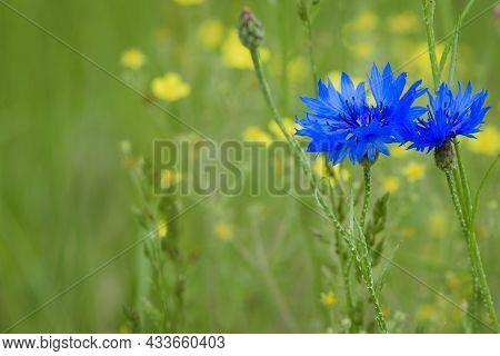 Cornflower, Centaurea Cyanus Rare Flower Of Arable Fields. Blue Wildflowers, Natural Floral Backgrou