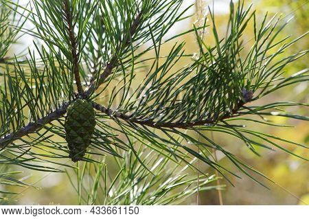 Young Green Pine Cone. Pine Tree. Pinus. Isolated Pine. Pine Branch With Cones Isolated On Light Nat