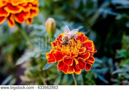 Bee Pollinates Orange Flower In  Garden In Autumn, Colorful Background With Image Of Insect And Vege