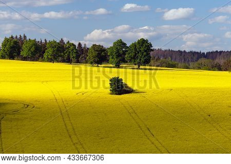 Rapeseed, Canola Or Colza Field In Latin Brassica Napus, Rape Seed Is Plant For Green Energy And Oil