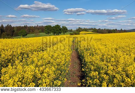 Field Of Rapeseed, Canola Or Colza, In Latin Brassica Napus With Rural Road, Beautiful Springtime La